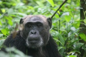 5 Day Rwanda Gorillas and Chimps Trekking safari