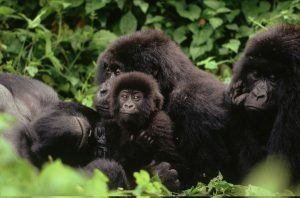 5 Days Congo Lowland Gorilla Tour, Chimpanzee Trekking Tour and Mount Kahuzi Climbing Safari Tour Trip.