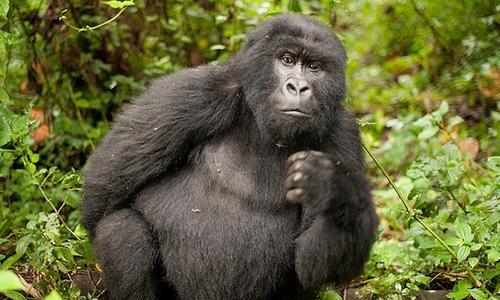 5 Days Gorilla Safari in Congo Adventure to Virunga and Mount Nyiragongo Climbing Tour Trip