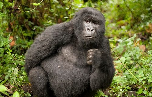 5 Days Gorilla Safari in Congo Adventure to Virunga and Mount Nyiragongo Climbing Tour Trip