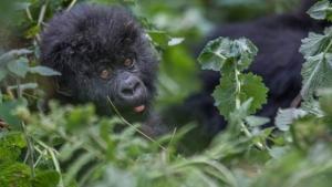 5 Days Karisimbi Hike and Gorilla Trekking Tour in Rwanda