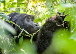 6 Day Uganda Gorillas and Chimpanzee Trekking Safaris