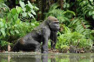 6 Days Congo Mountain Gorilla Trekking and Mount Nyiragongo Volcano Climbing Safari tour to Virunga National Park