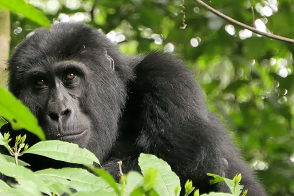 6 Days Mountain Gorilla trekking Safari Tour in DR Congo and Rwanda.