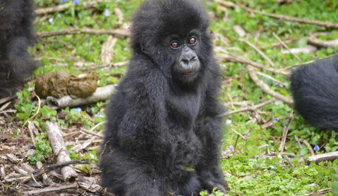 5 Days Gorilla Trekking Safari in Rwanda & Congo