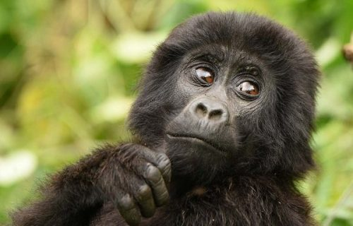 7 Days Congo Gorilla Safari and Wildlife Tour.