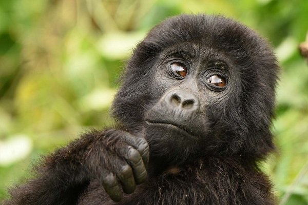 10 Days Gorilla trekking Safari in Congo and Uganda