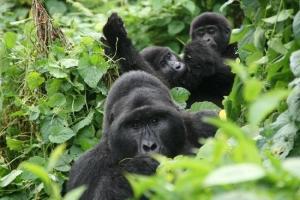 7 Days Primate Tour in Rwanda