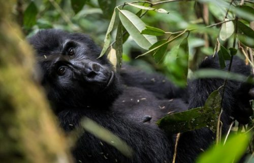 7 Days Uganda primate classic Safari- Kibale, Queen and Bwindi National Park