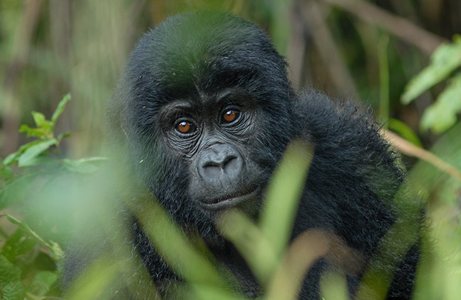 Luxury Uganda Gorilla Trekking Safaris Tours