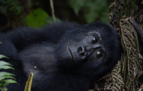 8 Days Uganda Gorilla Trekking Safari tour- Lake Mburo, Queen Elizabeth and Bwindi.