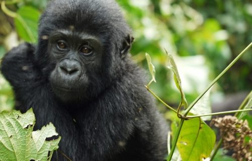9 Days Rwanda Gorilla trek and Wild Game Safari