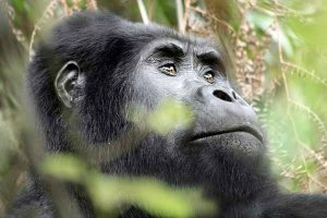 12 Days Uganda Rwanda Congo Gorilla Trekking Chimpanzee & Wildlife Safari