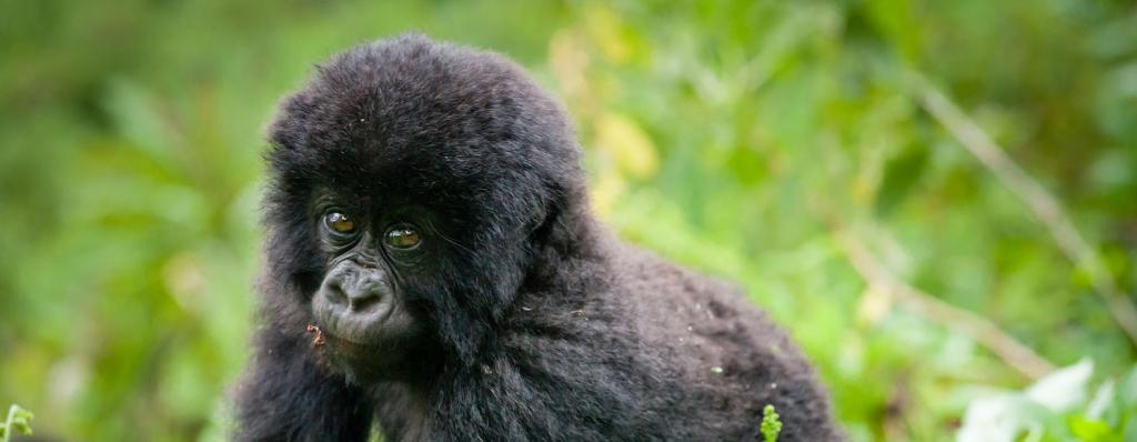 18 Days Gorilla Trekking Safari Rwanda & Uganda