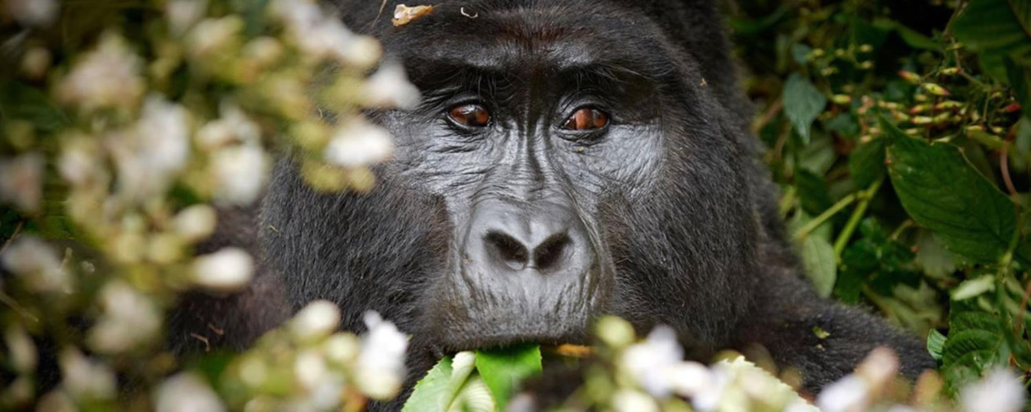 Gorillas safaris in uganda