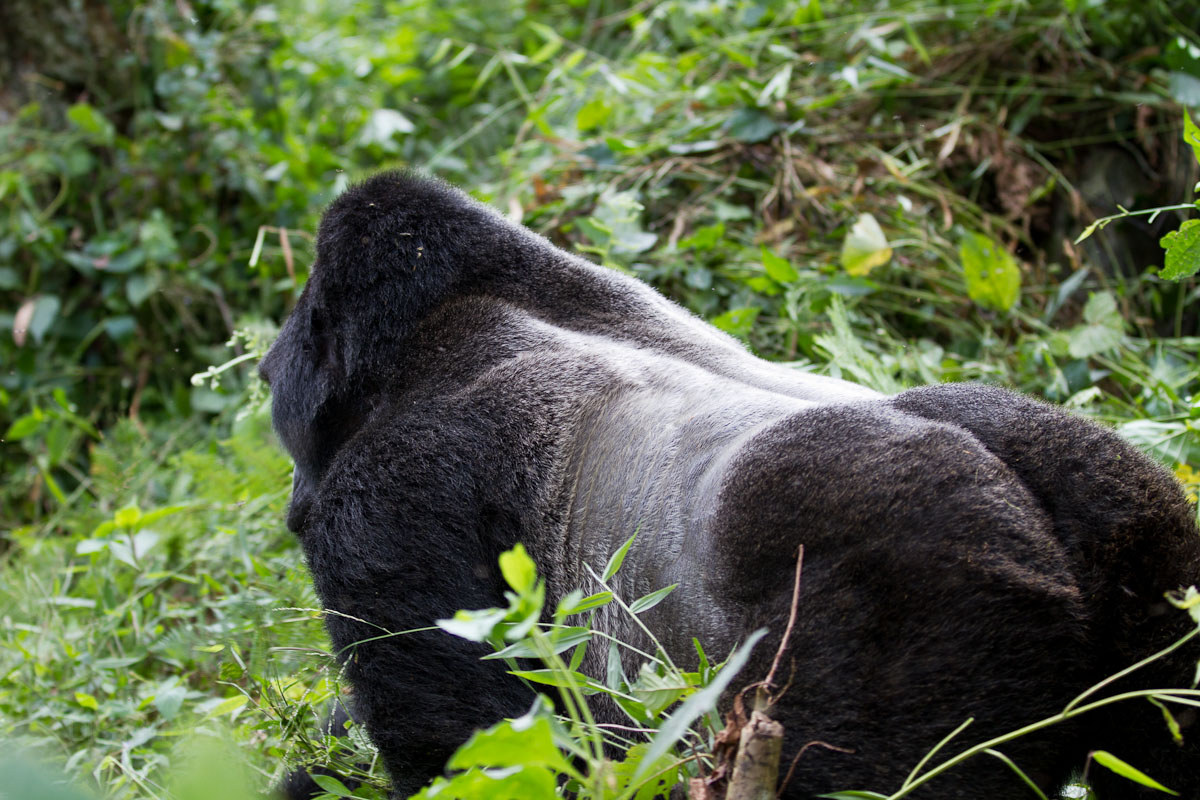 Virunga National Park Temporarily Closes Mountain Gorilla Safaris