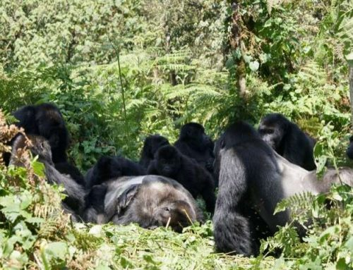 Family or not; Gorillas Groom Their Dead- Uganda Safari News